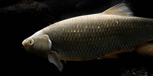 carp fish in the water